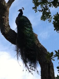 Peacock in tree on way to Beach